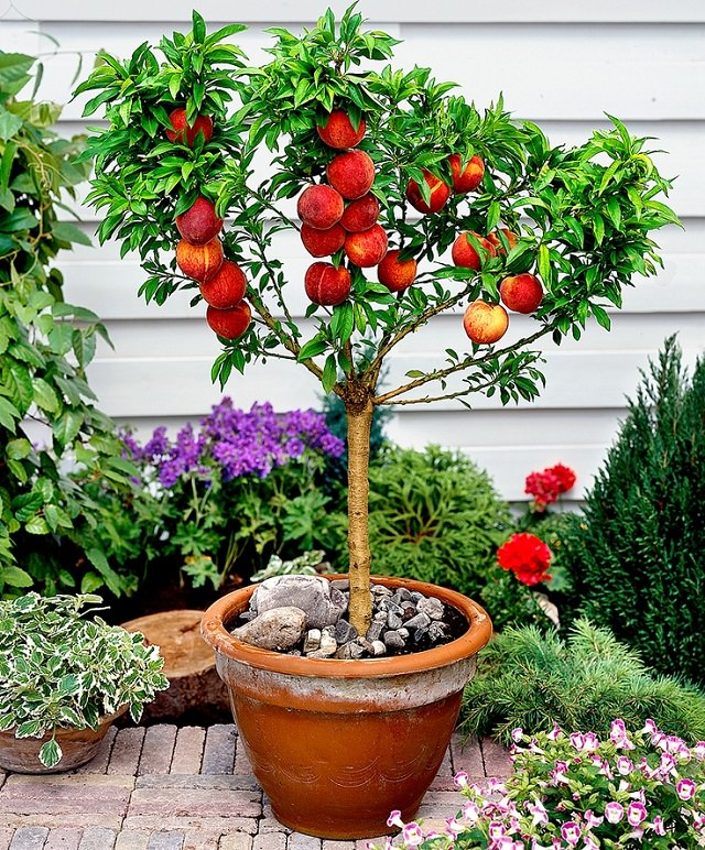Fruits To Grow In Containers 6