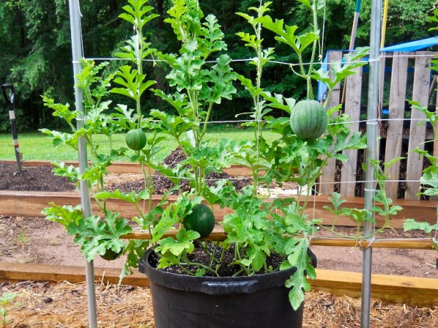 Fruits To Grow In Containers 9