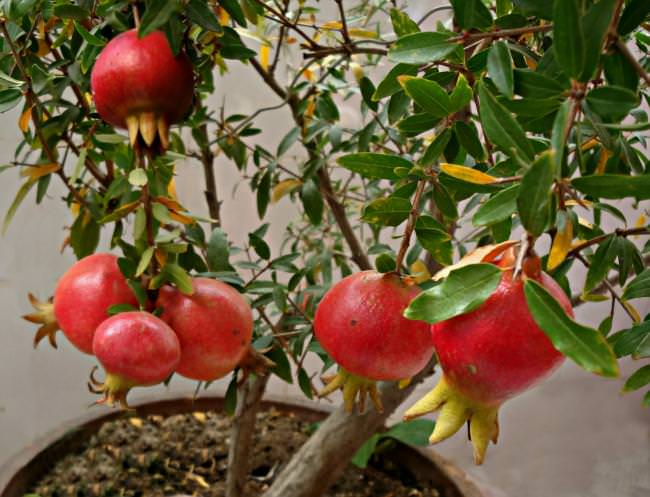 Grow Pomegranate Tree In Containers 1