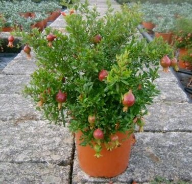 Grow Pomegranate Tree In Containers 2