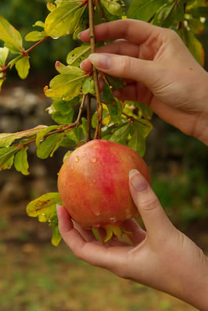 Grow Pomegranate Tree In Containers 3
