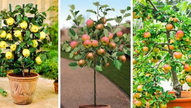 How To Grow Apple In Pots-A Step By Step Guide