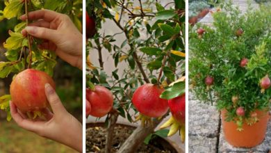 The Best Guide To Grow Pomegranate Tree In Containers