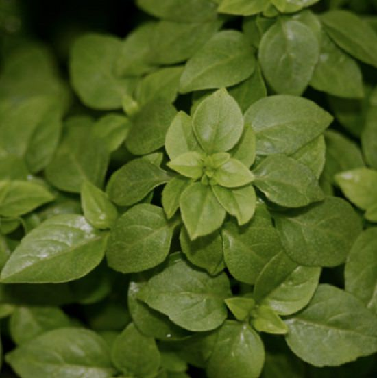 Types Of Basil 15