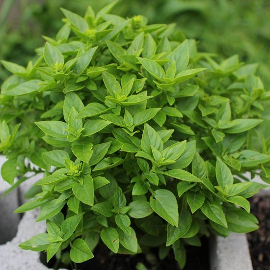 Types Of Basil 18