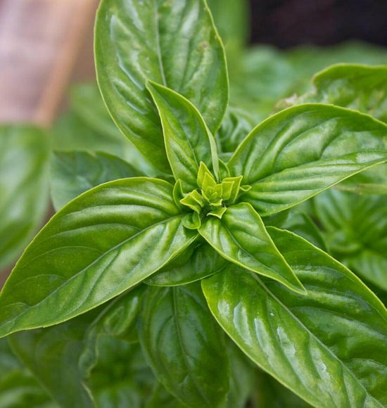 Types Of Basil 2