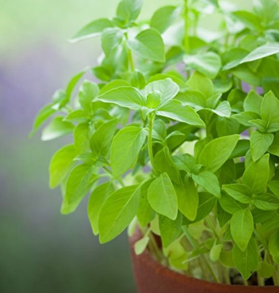 Types Of Basil 7
