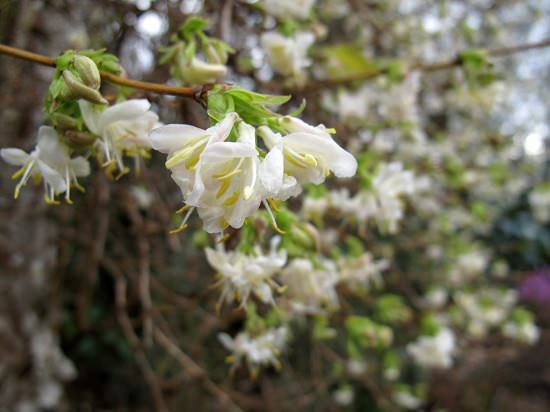 Winter Flowering Shrubs 12