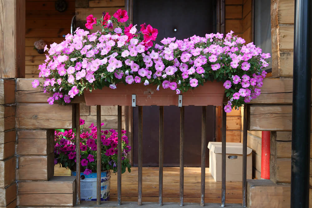 flowers for balcony garden-Fuchsia