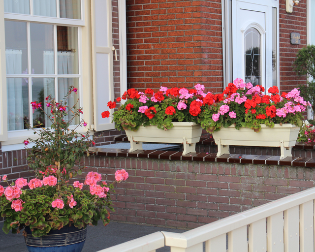 flowers for balcony garden-Geranium