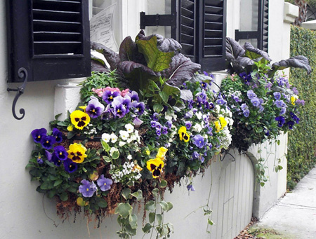 flowers for balcony garden-Pansy