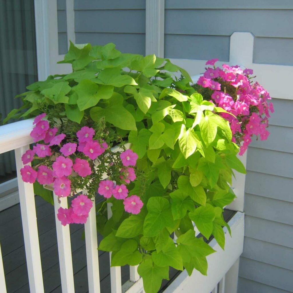 flowers for balcony garden-Petunia