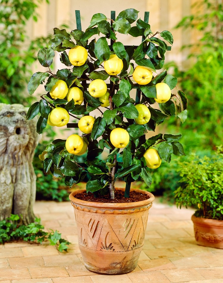 ow To Grow Apple In Pots 1