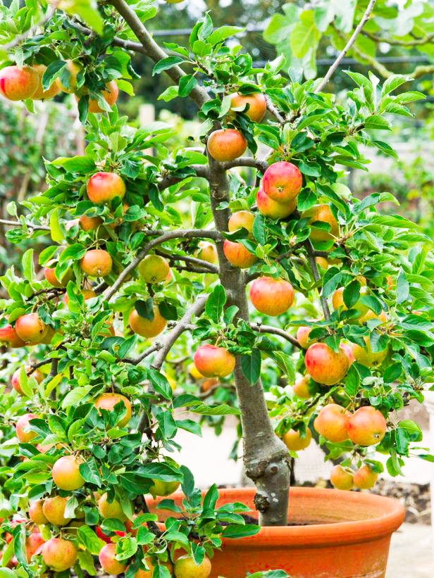 ow To Grow Apple In Pots 2