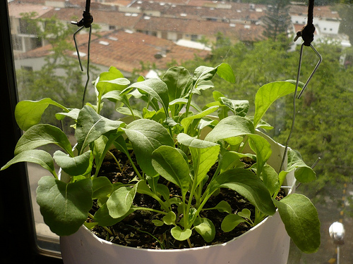 How To Grow Arugula In Containers Successfully 1