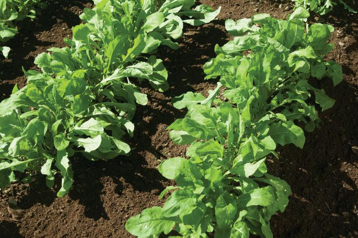 How To Grow Arugula In Containers Successfully 12
