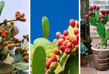 How To Grow Barbary Fig In Containers: The Most Successful Guide