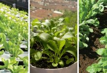 the best tips on how to grow Arugula in containers