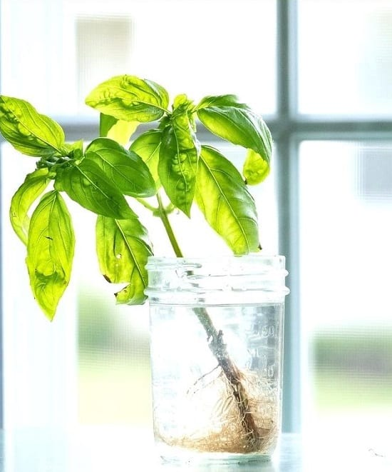 How To Grow Basil In Water?
