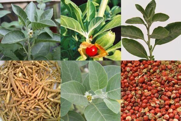 How to Grow Ashwagandha ?