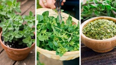 How to Grow Oregano in a Pot?