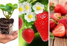 How to Grow Strawberries Indoor?